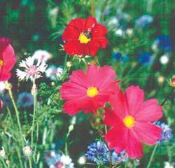 Flower Mix-California Wildflower