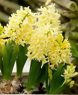 SOLD OUT City of Harlem Hyacinth - 10 bulbs