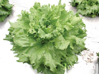 Reine Des Glaces Lettuce Organic