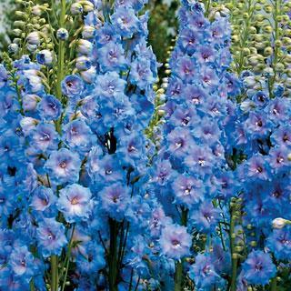 Blue Lace Delphinium Plant