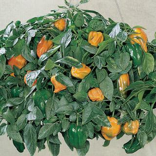 Pepper Fruit Basket Hybrid