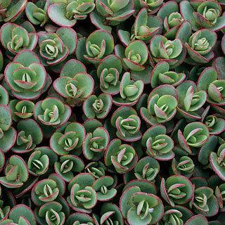 SunSparkler™ Lime Zinger Sedum Stonecrop Plant