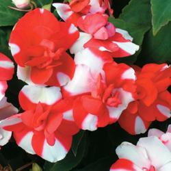 Impatiens walleriana 'Tutu Red Bicolor' F1 Hybrid