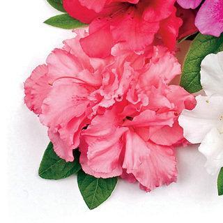 Bloom-a-Thon® Double Pink Azalea Shrub