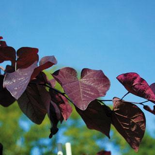 Merlot Cercis canadensis Redbud Tree