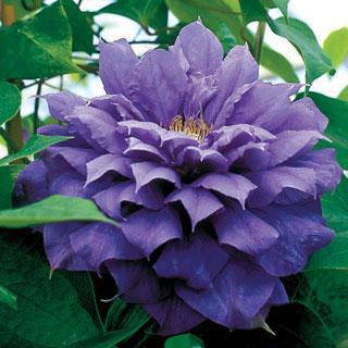 Franziska Marie® Clematis Plant