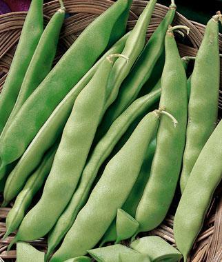 Bean, Early Bush Italian