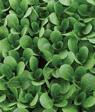 Corn Salad, Vit (Mild) Organic