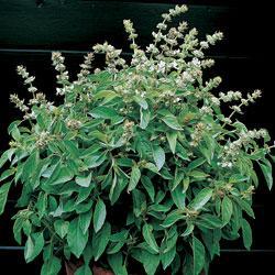 Herb Basil Lime