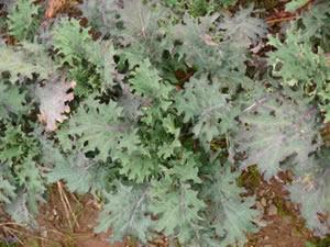 Kale, Russian Red, Organic