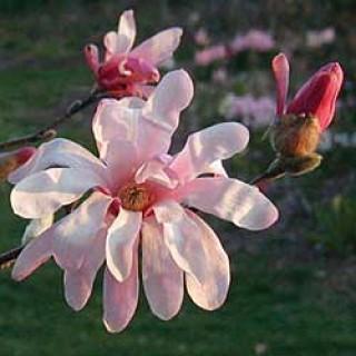 Pink Star Magnolia