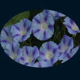 Dacapo Light Blue - Morning Glory