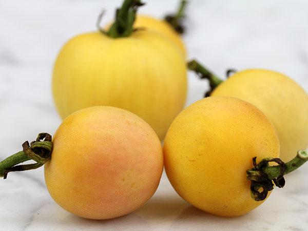 Weissbehaarte Tomato