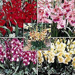 Glamini Gladiolus Collection