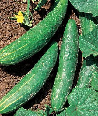 Cucumber, Orient Express