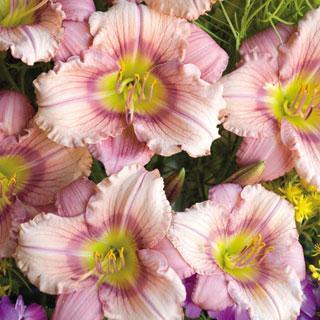Stephanie Returns Hemerocallis Daylily Plant