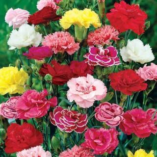 Rainbow Carnation Mix