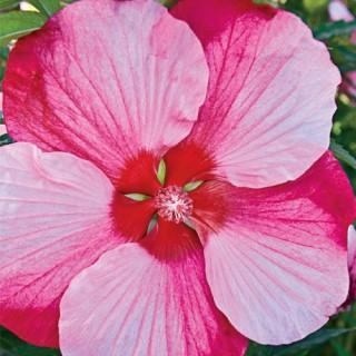 Turn of the Century Hardy Perennial Hibiscus