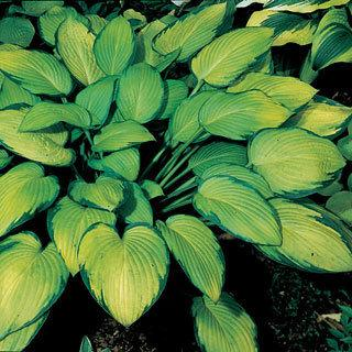Gold Standard Hosta Plant