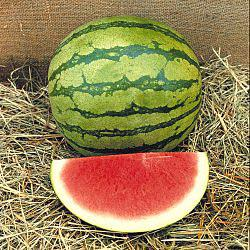 Gurney's Delight Hybrid Watermelon
