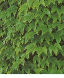Boston Ivy Climbing Vine - 3 pre-started plants