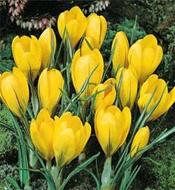 SOLD OUT Yellow Mammoth Large Flowering Crocus - 10 bulbs