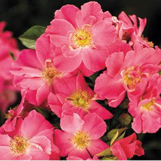 Beach Blanket™ Pink Groundcover Rose