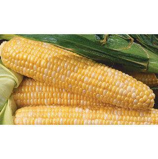 Corn Kristine