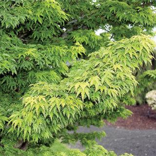 Mikawa Yatsubusa Acer palmatum Japanese Maple Tree