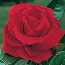 Mr. Lincoln Hybrid Tea Rose - 1 bare root plant