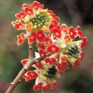 Red Dragon Edgeworthia chrysantha Shrub