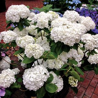 Hydrangea Next Generation Snow Storm