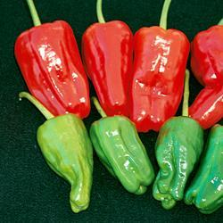 Chili Pepper Padron( Moderately Hot)