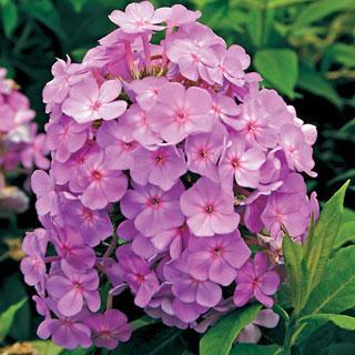 David's Lavender Phlox Plant