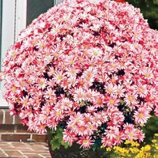 Coral Daisy Hardy Mammoth Mums