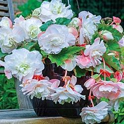 Begonia Angelique Hanging Basket Begonia