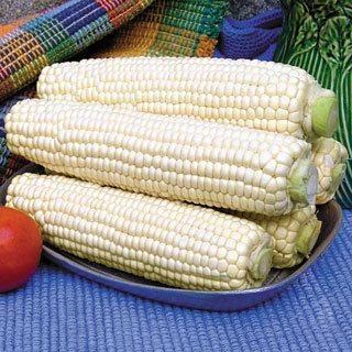 Corn White Mirai 421