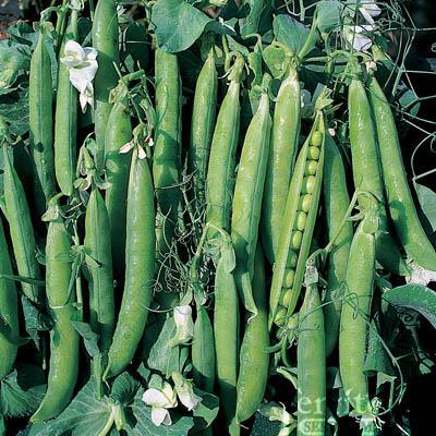 Canoe Peas