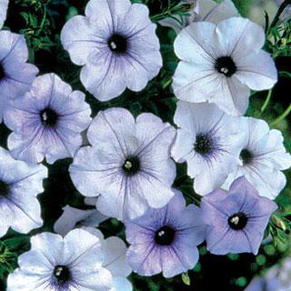 Tidal Wave™ Silver Petunia Annual Plant