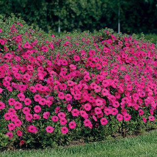 Tidal Wave™ Hybrid Purple Petunia Annual Plant