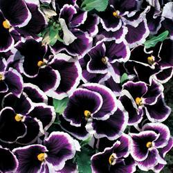 Pansy x w. 'Rippling Waters'