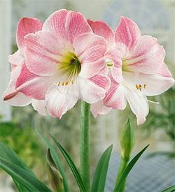 Apple Blossom Amaryllis  - 1 bulb
