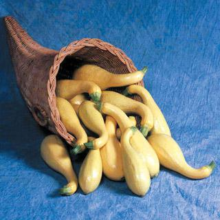 Squash Horn of Plenty Hybrid