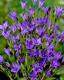 SOLD OUT Queen Fabiola Brodiaea - 25 bulbs