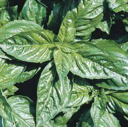 Large-Leaf Italian Basil Herbs