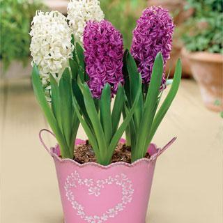 Mixed Hyacinth Bulb Garden