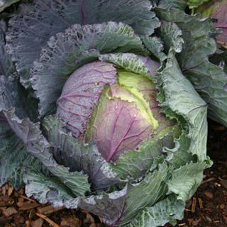 Cabbage Deadon Hybrid