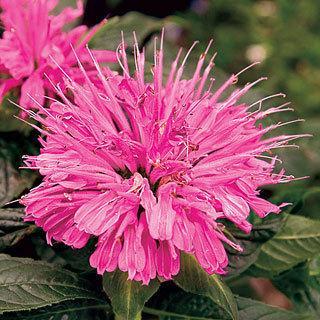 Pink Supreme Monarda Bee Balm Plant