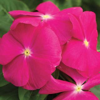 Vinca Cora™ Pink