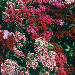 Sweet Williams barbaratus 'Indian Carpet Mixed'